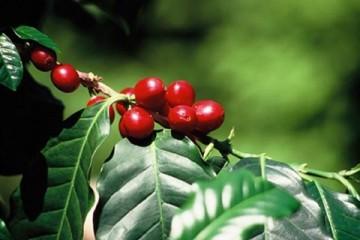 Du fruit à la tasse partie 3: la récolte